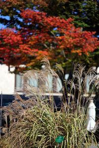 箱根ガラスの森美術館庭園内の楓も赤く染まってきたようです