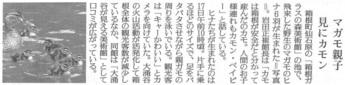 読売新聞:マガモのヒナ