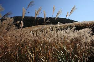 箱根・仙石原ススキ草原 2009年10月31日撮影