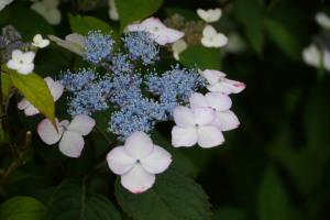 ベニヤマ紫陽花