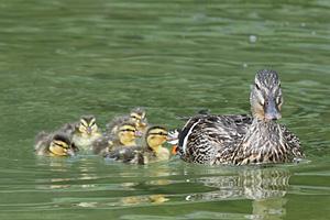 母カモを追って泳ぐ五羽のヒナ