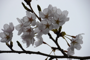 箱根ガラスの森美術館の隣の小さな公園には、桜が一本あります