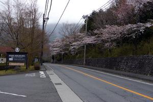 箱根ハイランドホテルさんの前の桜も開花していました