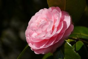 八重咲きの椿