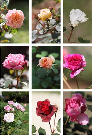 様々なバラが開花