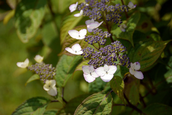 紅山紫陽花(ベニヤマアジサイ)