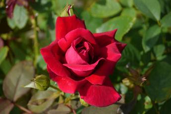 クリムゾン・グローリー Crimson Glory