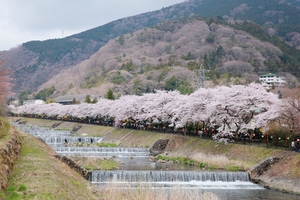 箱根宮城野、早川沿いの桜並木