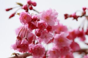 八重の枝垂れ桜はまだ蕾も多く残っていました