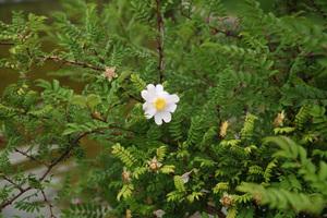 箱根山椒薔薇(ハコネサンショウバラ)