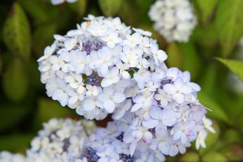 舞妓紫陽花(マイコアジサイ)