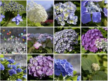 伊豆の華、石化八重、渦紫陽花、ブルーダニューブなど開花中