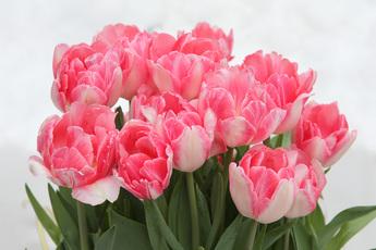 八重咲きチューリップ「フォックストロント」
