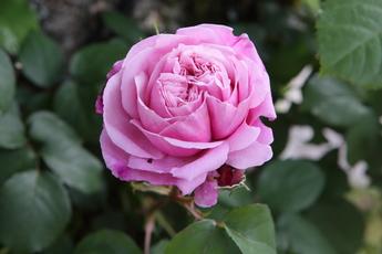 シャンテ・ロゼ・ミサト Chant rose misato