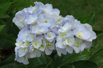 石化八重(セキカヤエ)が開花