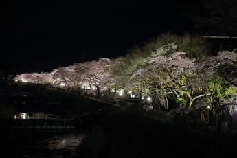 箱根宮城野の夜桜