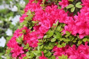 ツツジが開花