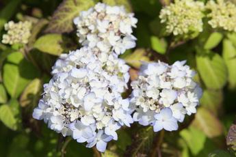 舞妓紫陽花(マイコアジサイ)開花