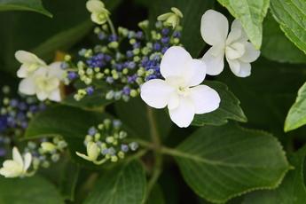 三原八重(ミハラヤエ)が開花