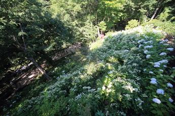 「紫陽花の滝」のアナベルが見頃