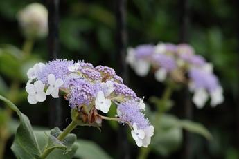 紫花玉紫陽花(ムラサキバナタマアジサイ)