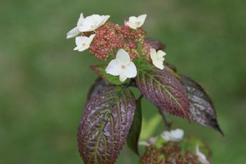 紅(クレナイ)の開花が始まりました