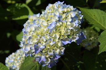 西洋アジサイが開花