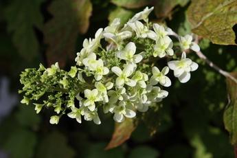 柏葉紫陽花(カシワバアジサイ)が開花