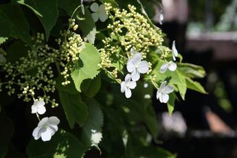 蔓紫陽花(ツルアジサイ)が開花