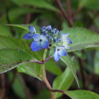 藍姫(アイヒメ)