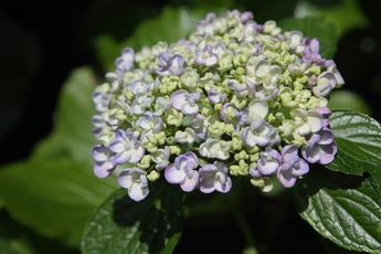 渦紫陽花(ウズアジサイ)が開花