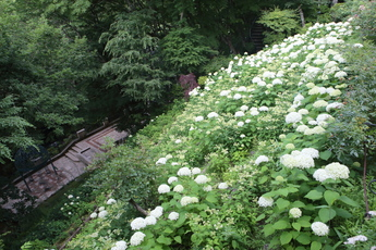 紫陽花の滝
