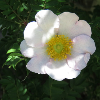 箱根山椒薔薇(ハコネサンショウバラ)が開花