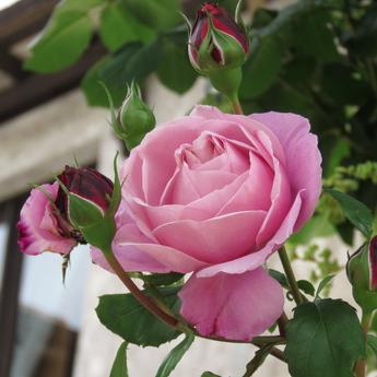 「シャンテ・ロゼ・ミサト Chant rose misato」が開花