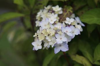 舞妓紫陽花