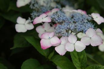 紅山(ベニヤマ)が開花