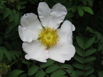 山椒薔薇(サンショウバラ)が開花