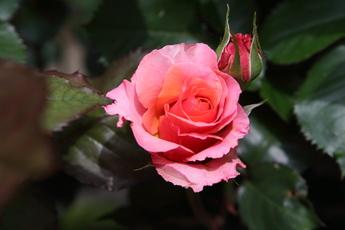「ブリリアント Brilliant」が開花