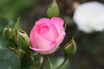 「ストロベリー・アイス Strawberry Ice」が開花
