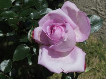 「ローズ・シナクティフ Rose Synactif」が開花