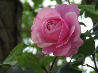 「シャンテ・ロゼ・ミサト Shante Rosé Misato」が開花