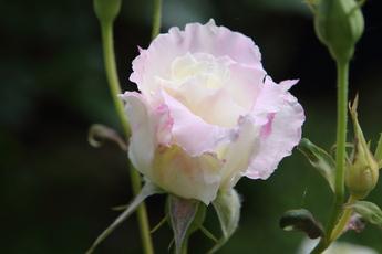 「ル ブラン Le Blanc」が開花