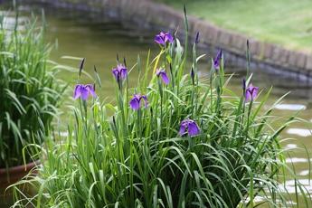 野花菖蒲(ノハナショウブ)が開花