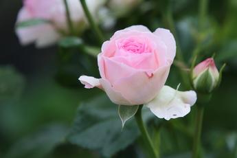 「エルミタージュ Hermitage」が開花