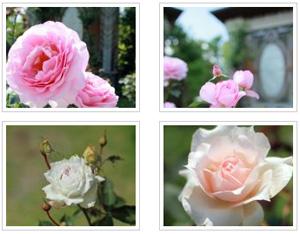 2012年5月26日撮影 バラの開花状況
