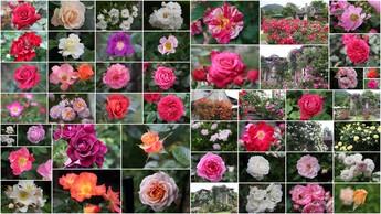 2015年6月8日撮影 箱根ガラスの森美術館庭園のバラ