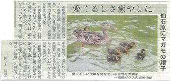 神奈川新聞:マガモのヒナ