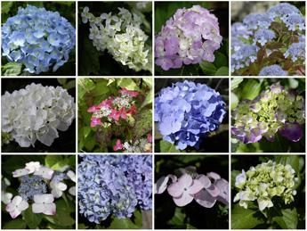 紅、紅山、ブルーダニューブ、姫紫陽花、ブールースカイなど開花中