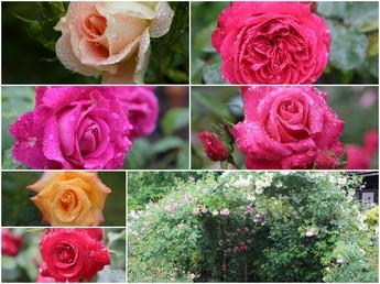 2015年6月6日撮影 箱根ガラスの森美術館庭園のバラ