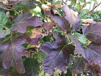 カシワバアジサイの葉が紅葉